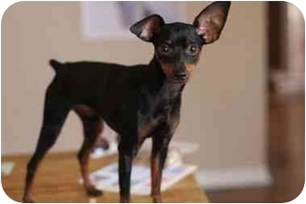 Miniature Pinscher Mix Dog for adoption in Los Angeles, California - Gecko