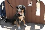Australian Shepherd/Bernese Mountain Dog Mix Dog for adoption in Simi Valley, California - Henry