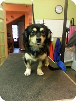Spaniel (Unknown Type)/Chihuahua Mix Dog for adoption in Windham, New Hampshire - Tailz