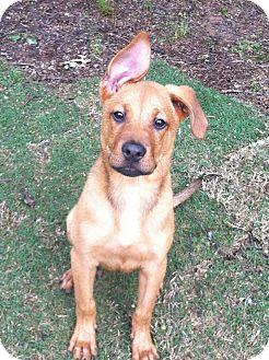 Shepherd (Unknown Type)/Labrador Retriever Mix Puppy for adoption in North Brunswick, New Jersey - JOJO