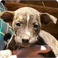 Adopt A Pet :: Brin - Albany, NY