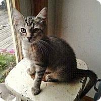 Adopt A Pet :: Tigerlily - Byron Center, MI