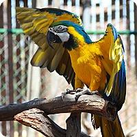 Adopt A Pet :: Tika - Del Mar, CA