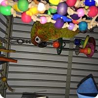 Adopt A Pet :: Rascal - Punta Gorda, FL