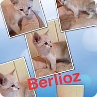Adopt A Pet :: Berlioz ragdoll/siamese - McDonough, GA