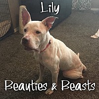 Pit Bull Terrier Mix Dog for adoption in Wichita, Kansas - Lilly