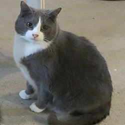 Photo 1 - Domestic Shorthair Cat for adoption in Geneseo, Illinois - Simon