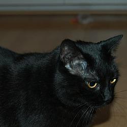 Photo 3 - Domestic Shorthair Cat for adoption in San Jose, California - Susie