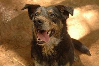 Australian Shepherd/Australian Cattle Dog Mix Dog for adoption in Pt. Richmond, California - MIA