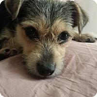 Adopt A Pet :: Capri - Davie, FL