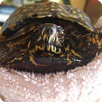 Adopt A Pet :: Cricket - Aurora, IL