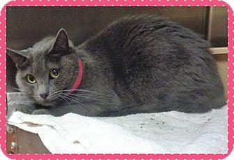Domestic Shorthair Cat for adoption in Marietta, Georgia - JJ (R)