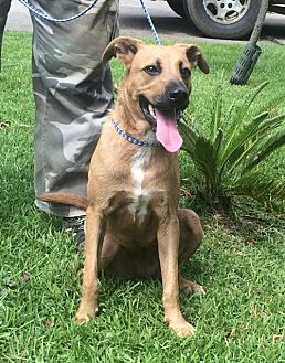 Labrador Retriever Mix Dog for adoption in Slidell, Louisiana - Sarah