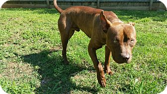 Pit Bull Terrier Mix Dog for adoption in Nashville, Tennessee - Pete