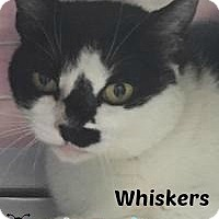 Adopt A Pet :: Whiskers-Watch my fun video! - Manchester, NH