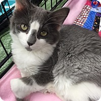 Domestic Mediumhair Kitten for adoption in Burbank, California - Jupiter