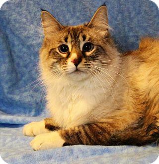 Ragdoll Cat for adoption in Greensboro, North Carolina - Milo