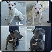 Adopt A Pet :: Max - California City, CA