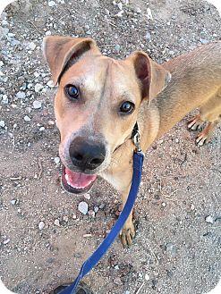 Carolina Dog/Labrador Retriever Mix Dog for adoption in Phoenix, Arizona - Cooper
