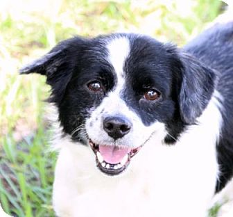 Spaniel (Unknown Type)/Terrier (Unknown Type, Small) Mix Dog for adoption in Loxahatchee, Florida - Bumps (Red)