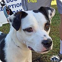 Beagle/Terrier (Unknown Type, Medium) Mix Dog for adoption in Suwanee, Georgia - Oreo