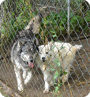 Husky Dog for adoption in Afton, New York - Shelby & Zoey