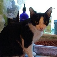 Domestic Shorthair Kitten for adoption in Sarasota, Florida - Uno