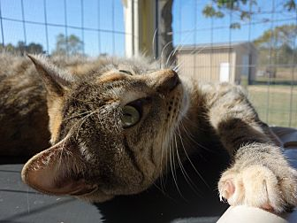 Domestic Shorthair Cat for adoption in Waller, Texas - Haley
