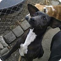 Adopt A Pet :: Sweet Pea - Pembroke, GA