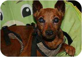 Miniature Pinscher Dog for adoption in Florissant, Missouri - Mr BoJangles