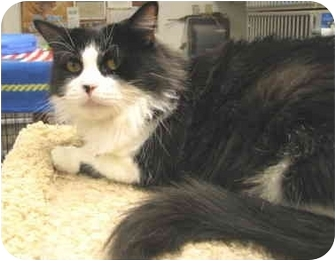 Domestic Longhair Cat for adoption in Mesa, Arizona - Morgan