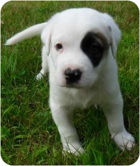 Trevor Adopted Puppy Chesterland Oh St Bernard Great Pyrenees Mix