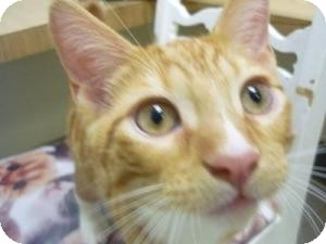 Domestic Shorthair Kitten for adoption in Milwaukee, Wisconsin - Elm