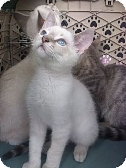 Siamese Kitten for adoption in Lantana, Florida - Mistletoe