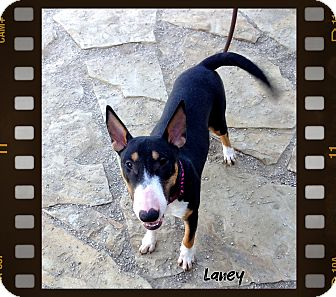 "Bull Terrier Puppy for adoption in Sachse, Texas - Lois Lane ""Laney"""