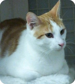 Domestic Shorthair Kitten for adoption in Chandler, Arizona - Bishop