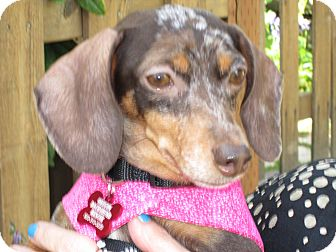Dachshund Dog for adoption in Portland, Oregon - BEBE