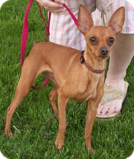 Sparkle 7 lbs adopted dog struthers oh miniature for Pinscher temperamento