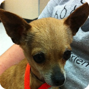 Chihuahua Mix Dog for adoption in Gilbert, Arizona - Chica