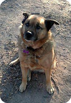 German Shepherd Dog/Labrador Retriever Mix Dog for adoption in High View, West Virginia - Raleigh