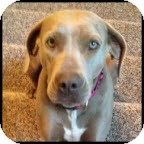 Weimaraner/American Staffordshire Terrier Mix Dog for adoption in Dallas, Texas - SHEILA - Dallas
