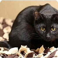 Domestic Shorthair Cat for adoption in Dallas, Texas - JEDD