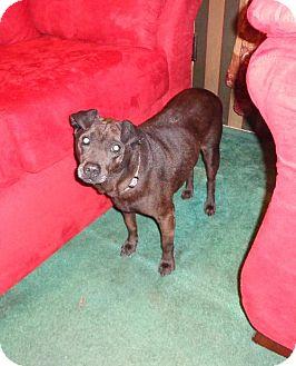 Labrador Retriever/Shar Pei Mix Dog for adoption in Willingboro, New Jersey - Sweet Pea-Lab Mix