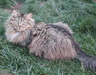Domestic Longhair Cat for adoption in San Pablo, California - HAPPY RACCOONY
