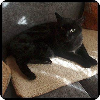 Domestic Shorthair Cat for adoption in Colorado Springs, Colorado - Buddy