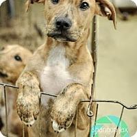 Adopt A Pet :: D'oh - Gainesville, FL