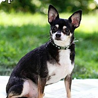 Chihuahua Dog for adoption in Rochester, New York - Coco