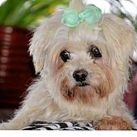 Adopt A Pet :: Lily - Gilbert, AZ