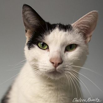 Domestic Shorthair Cat for adoption in Los Angeles, California - Joan