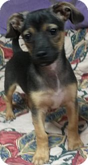 Dachshund/Rat Terrier Mix Puppy for adoption in East Hartford, Connecticut - BJ